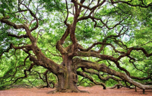 Photograph of a beautiful old oak tree
