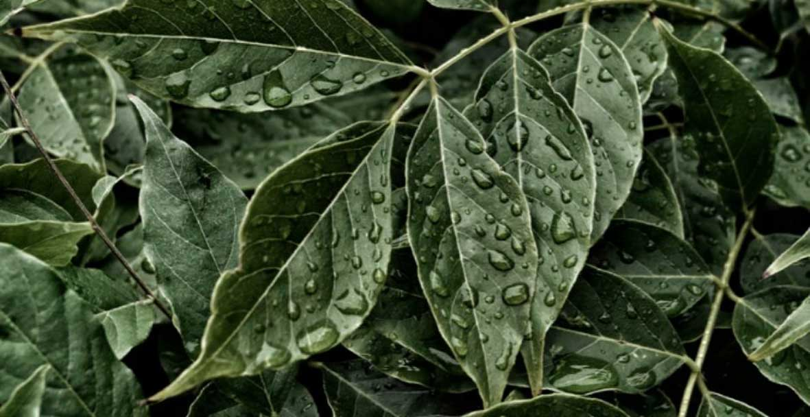 Photograph of some green leaves with rain drops on